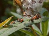 3695 Milkweed Bug Nymphs