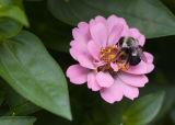 3738 Sleeping Bee