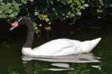 Black-necked Swan (1)