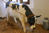 Dairy Cattle Model
