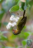 Babbler, Chestnut-faced ( Stachyris whiteheadi)