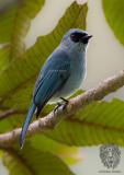 Mountain Verditer-Flycatcher