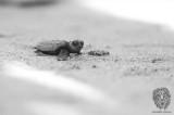 Pawikan (Marine Turtles)