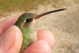Adult Female Broad-billed hummingbird in Tallahassee, FL