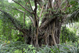 Banyan Tree, Tanna