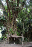 Shelter at the base of a banyan tree