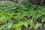 Taro patch