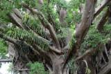 Tanna banyan tree, Vanuatu
