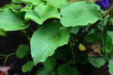 Botanical garden, Tanna