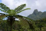 Fern tree, Viti Levu