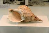Davui - Turtle fishermen's trumpet