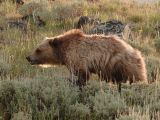 Bear 170