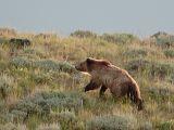 Bear 440