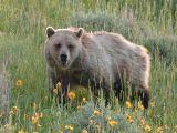 Bear 430