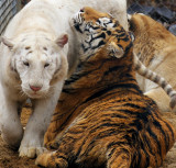 tigers of color 11 2012 030 7x6.5.jpg