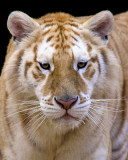 tigers of color orig 069 a 8x10.jpg
