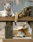 tigers of color orig 114 a 8x10.jpg