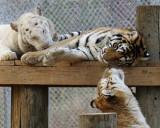 tigers of color orig 118 8x10a.jpg