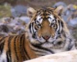 tigers of color orig 057 8x10.jpg