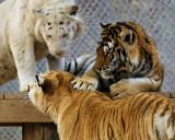 tigers of color orig 097 a 8x10 h.jpg