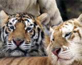tigers of color orig 066 a 8x10.jpg
