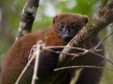 red-bellied lemur  Eulemur rubriventer