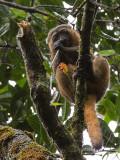 golden bamboo lemur  Hapalemur aureus