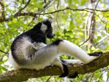 indri  Indri indri