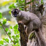 common brown lemur  Eulemur fulvus