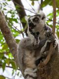 ring-tailed lemur  Lemur catta