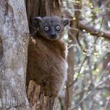Hubbard's sportive lemur