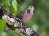 spotted dove  Spilopelia chinensis