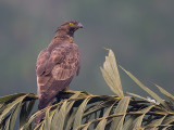 crested honey buzzard  Pernis ptilorhynchus