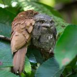 sri lanka frogmouth  Batrachostomus moniliger