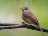 brown-breasted flycatcher  Muscipapa muttui