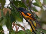 orange minivet (m.)  Pericrocotus flammeus