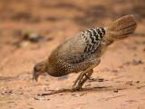 sri lanka junglefowl (f.)  Gallus lafayetii