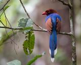 sri lanka blue magpie  Urocissa ornata