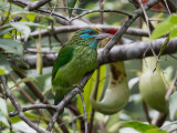 yellow-fronted barbet  Megalaima flavifrons