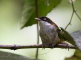 dark-fronted babbler  Rhopocichla atriceps