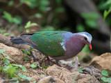 emerald dove  Chalcophaps indica