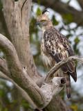 changeable hawk-eagle  Nisaetus cirrhatus