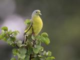 sri lanka green-pigeon  Treron pompadora