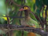 brown-headed barbet  Megalaima zeylanica