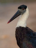 woolly-necked stork  Ciconia episcopus