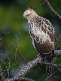 changeable hawk-eagle(Nisaetus cirrhatus)