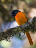 orange minivet (m.) (Pericrocotus flammeus)