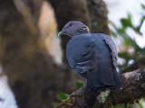 sri lanka wood pigeon (Columba torringtonii)