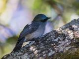 dull-blue flycatcher (Eumyias sordidus)