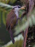sri lanka scimitar babbler (Pomatorhinus melanurus)